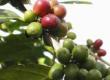 CAFE ROBUSTA, GRADES 1, 2 &3