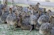 Poussins d'autruche sains et œufs d'autruche fertiles à vendre