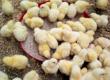 Offre de formation en élevage de poulets de chair