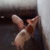 Vente Porcs et porcelets de Race