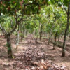 970 ACRES COCOA FARM FOR SALE ROADSIDE PLOT AND MANGO FARMLANDS