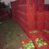 FRESH MANGOES SUPPLY  !!!