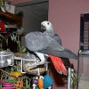 Congo African Grey Parrots For Good Homes