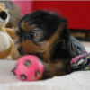 Teacup Yorkie puppies