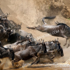 The Great Wildebeest Migration at the Masai Mara