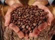 CAFE ROBUSTA GRADES 1 & 2