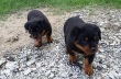 Pure Full breed Rottweiler available