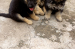 Pure Full breed German Shepherd available