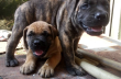 Pure Full breed Boerboel available