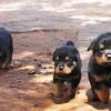 Chiots, Rottweilers, Berger Allemand et Pitbul