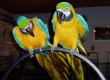 Blue and Gold Macaw Parrots for Adoption