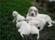 Golden Retriever Puppies Available Lifelong