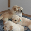 Golden retriever puppies for your Xmass