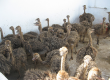 Ostrich Chicks and fresh Fertile ostrich Eggs and shells for sale.