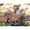 Quality Chihuahua Puppies