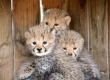 cheetah cubs ,lion cubs,tiger cubs