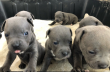 Beautiful Staffordshire Bull Terrier Puppies.