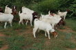 Outstanding Boer goats , Nguni and Dorpers For sale
