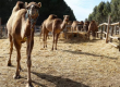 RESSISTANT DROMEDARY/BACTRIAN CAMEL WHATSAPP +27632431669
