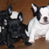 CUTE AND ADORABLE CHRISTMAS FRENCH AND ENGLISH BULLDOG PUPPIES FOR SALE