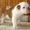 Bulldogs for sale ,male and female now available.