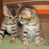 Well trained bengal kittens for sale