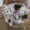 8 weeks old Maine Coon kittens