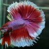 Ornamental fish for sale
