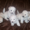 Teacup bichon frise available