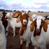 Goats, Sheep and Cattle For Sale