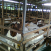 Top quality live Sheep lamb goats and cattle