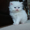 Beautiful Persian Kittens Available