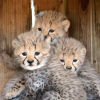 cheetah cubs ,lion cubs,tiger cubs