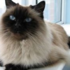 Gorgeous Himalayan Kittens Available