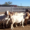 Goats available – Boer Goat Rams Ewes and Sheep