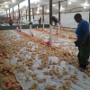 Vaccinated day old broiler chicks for sale