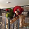 HANDREARED GREEN-WING MACAW BABIES