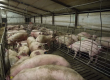 Pig Farming with available stock.